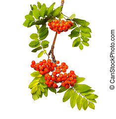 Branch of mountain ash with ripe berries and foliage on isolated background