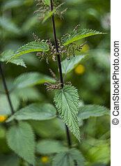 branch of nettle (Urtica)