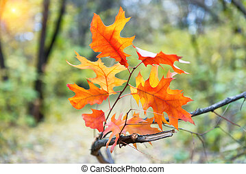 Branch of oak tree with red leaves
