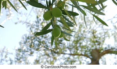 Branch of olive tree with green fruit - Close-up shot of...