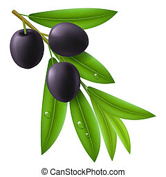 Branch of olive tree with ripe black olives and green leaves with drops on them.
