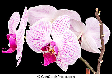 Branch of orchids on a black background