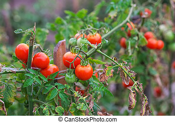 Branch of organic tomatoes growing in a greenhouse on a garden