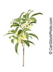 branch of osmanthus