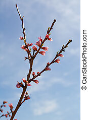 Branch of peach tree