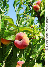 branch of peach with fruits