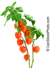 branch of physalis with leaves isolated on white background