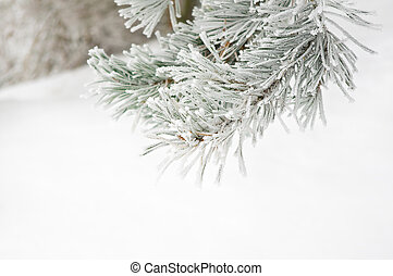 Branch of pine tree covered with frost