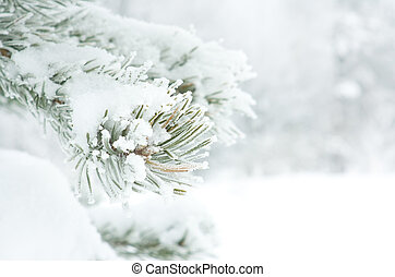 Branch of pine tree covered with snow