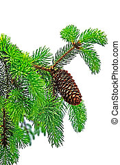 Branch of pine tree with cone isolated on white background.