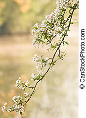 Branch of pink and white blossom in spring