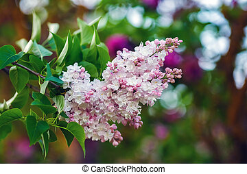 Branch of pink lilac