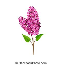 Branch of pink lilac. Vector illustration on a white background.