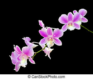 Branch of pink orchid isolated