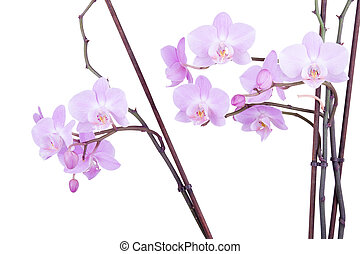 branch of pink orchid