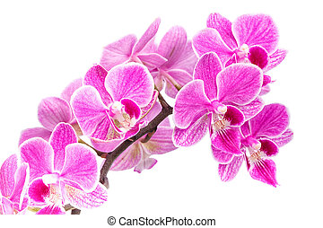 branch of pink orchids isolated on a white background