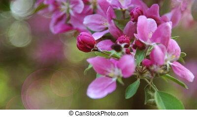Branch of pink Sakura Cherry Blossoms, close up