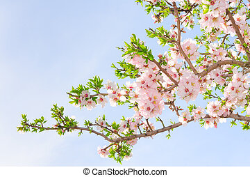 Branch of pink spring blossom cherry tree