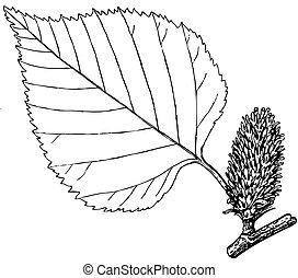 Plant Betula ermani (Erman's Birch) - Branch of Plant Betula...