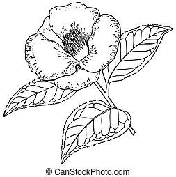 Plant Camellia japonica - Branch of Plant Camellia japonica...