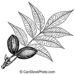 Plant Carya pecan - Branch of Plant Carya pecan