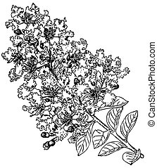 Plant Lagerstroemia indica - Branch of Plant Lagerstroemia ...