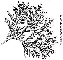 Plant Libocedrus decurreus - Branch of Plant Libocedrus...