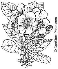 Plant Rhododendron caucasicum