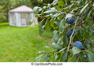 Branch of plum against a garden