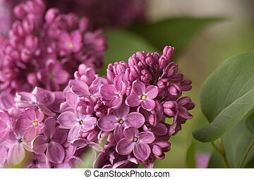 Branch of purple lilac. Floral natural background