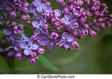Branch of purple lilac. Floral nature background