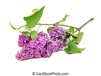 Branch of purple lilac