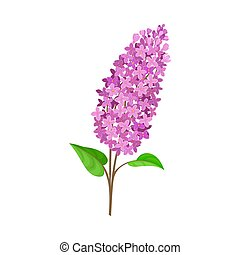 Branch of purple lilac. Vector illustration on a white background.