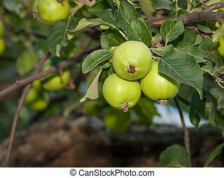 Branch of quince tree with fruits in a garden.