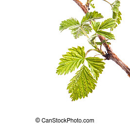 Branch of raspberries isolated on a white background