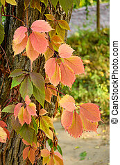Branch of red autumn wild grape leaves