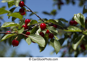 branch of red cherry in a sunny day