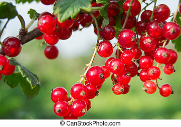 Branch of red currant berries in the garden