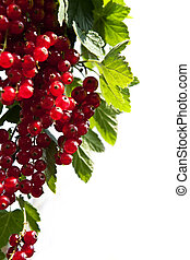 branch of red currants on a white background