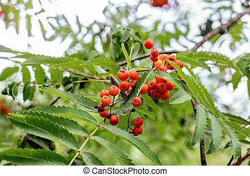 Branch of red mountain ash among the leaves