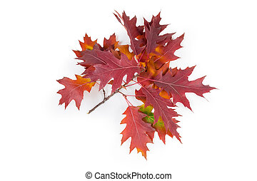 Branch of red oak with leaves on a white background