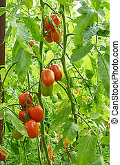 Branch of red tomato on vegetable garden - Growing branch of...