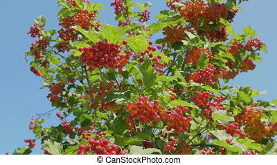 Branch of red viburnum in the garden.