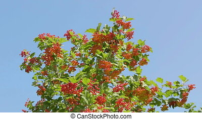 Branch of red viburnum in the garden