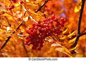 Branch of ripe berries mountain ash