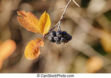 chokeberry in autumn