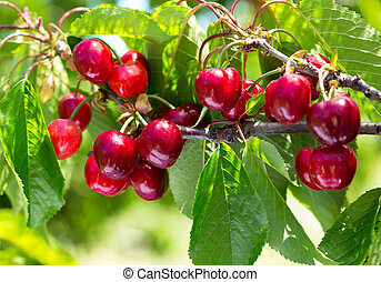 ripe cherries on a tree