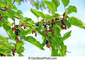 Branch of ripe mulberry. Berries on tree