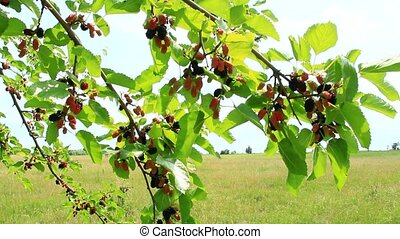 Branch of ripe mulberry. Berries on tree. Ripe mulberry...