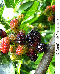 Branch of ripe mulberry